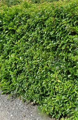Portugal Laurel Hedge Hedging Plants Landscaping Ideas Privacy