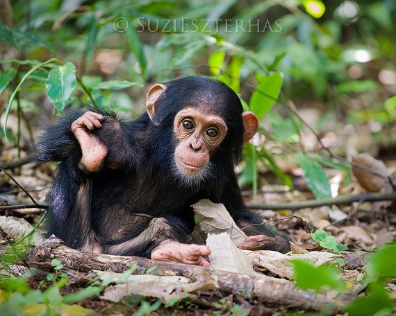 Cute Baby Chimpanzee Photo Print, Baby Animal Photograph ...