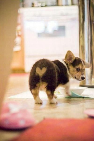 Corgi Puppy With A Heart Shaped Pattern On Its Butt Natures Heart