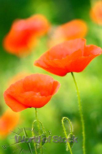 Orange poppies consider how the lilies grow pinterest orange poppies mightylinksfo
