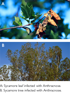 Anthracnose Treatments Sycamore Leaf Sycamore Tree Tree