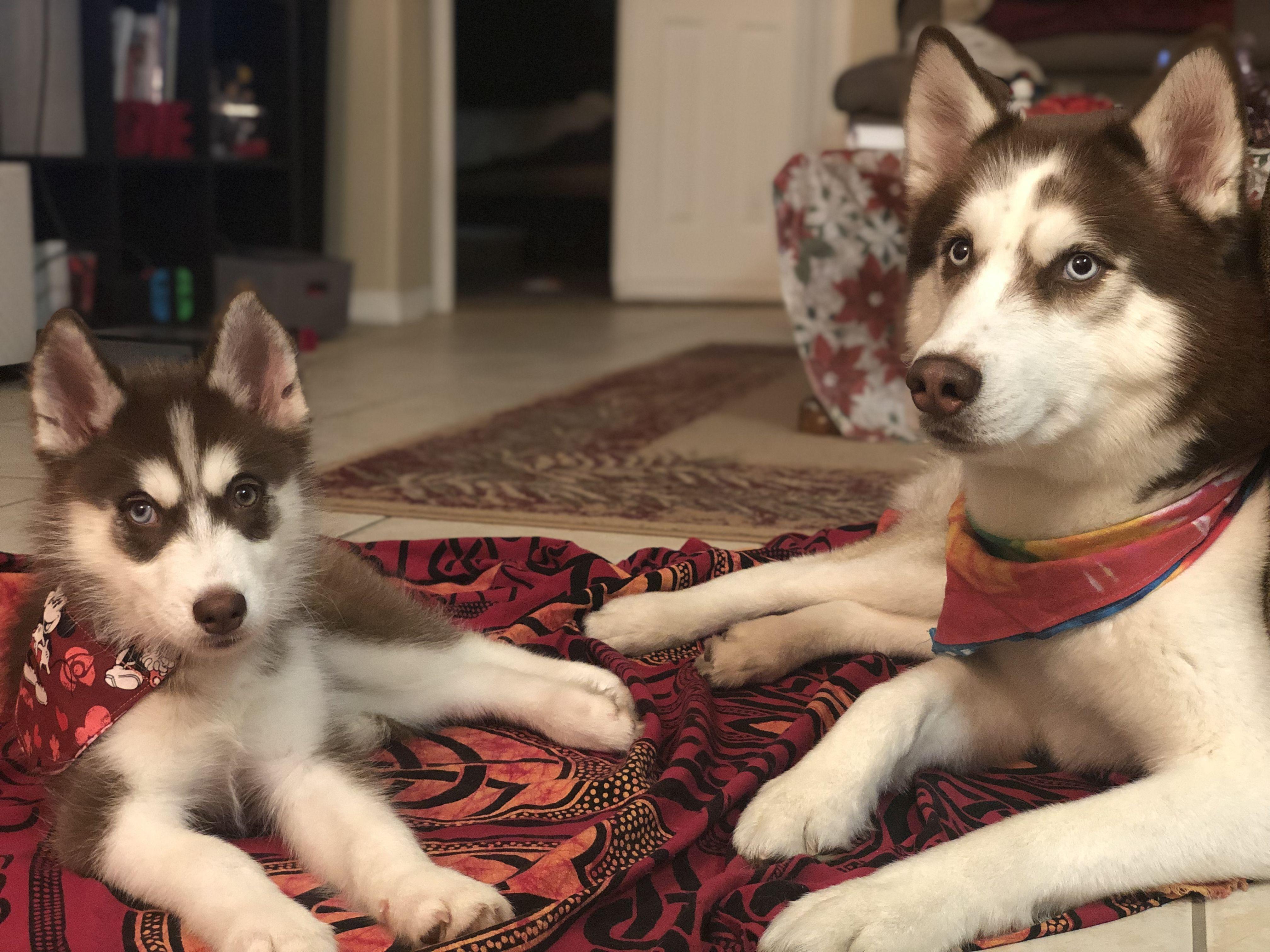 Follow Us On Instagram At Ohanahuskies Husky Dogs Ohana