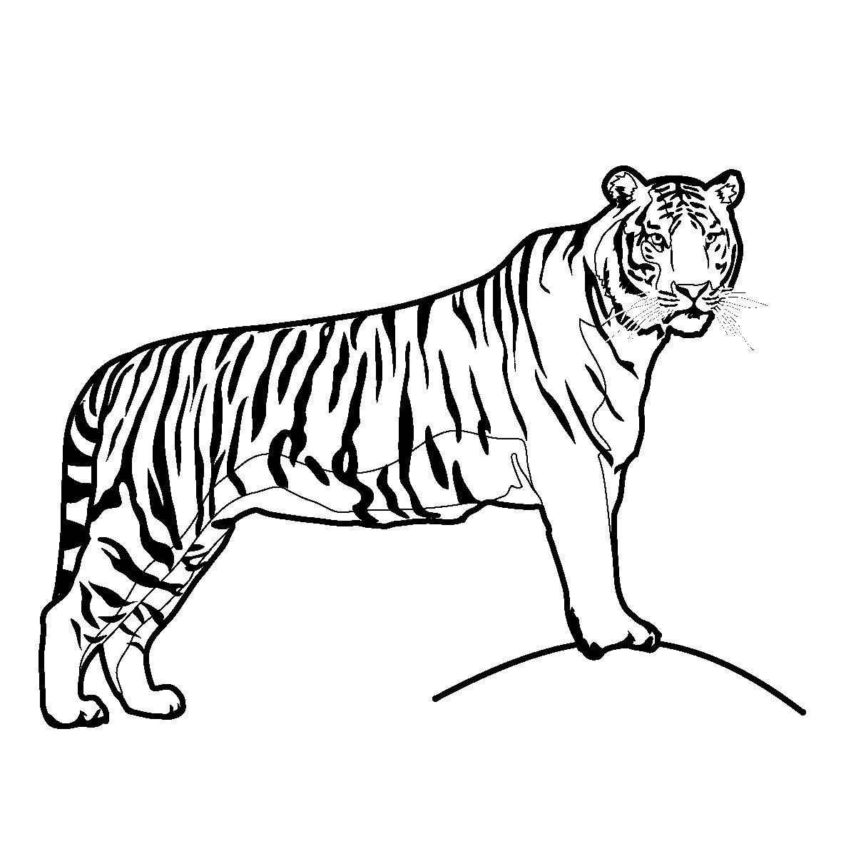 Free Printable Tiger Coloring Pages For Kids Tiger Illustration Big Cats Drawing Cat Coloring Page