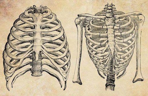 Rib Cage Anatomy Torso Png Clip Art Digital By Vellascollagesheets 1 00 Printable Art Prints Rib Cage Anatomy Rib Cage