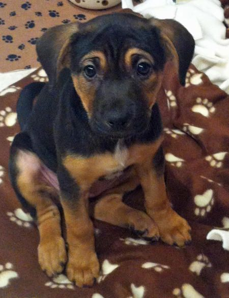 Remi The German Shepherd Mix Puppies Kittens And Puppies Mixed Breed Dogs