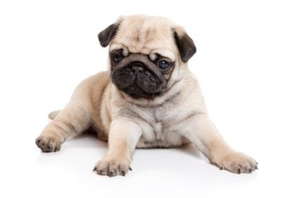Pug On White Background Cute Pug Puppies Low Maintenance Dog