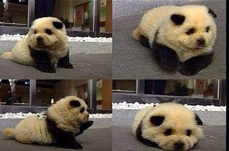 Chowsky Chow Chow And A Husky Mixed Panda Dog Panda Puppy