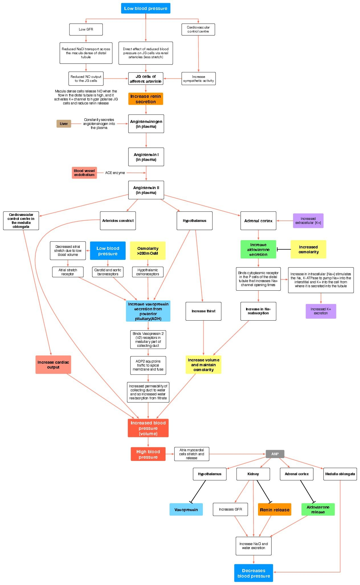 Concept Map Renin Angiotensin Aldosterone Mechanism.Renin Angiotensin Aldosterone System For The Love Of Nursing