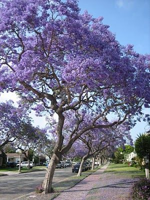 Jacaranda Trees Which Are Native To South America A Very Por Tree In Los Angeles With Beautiful Bright Purple Flowers That Peak Every