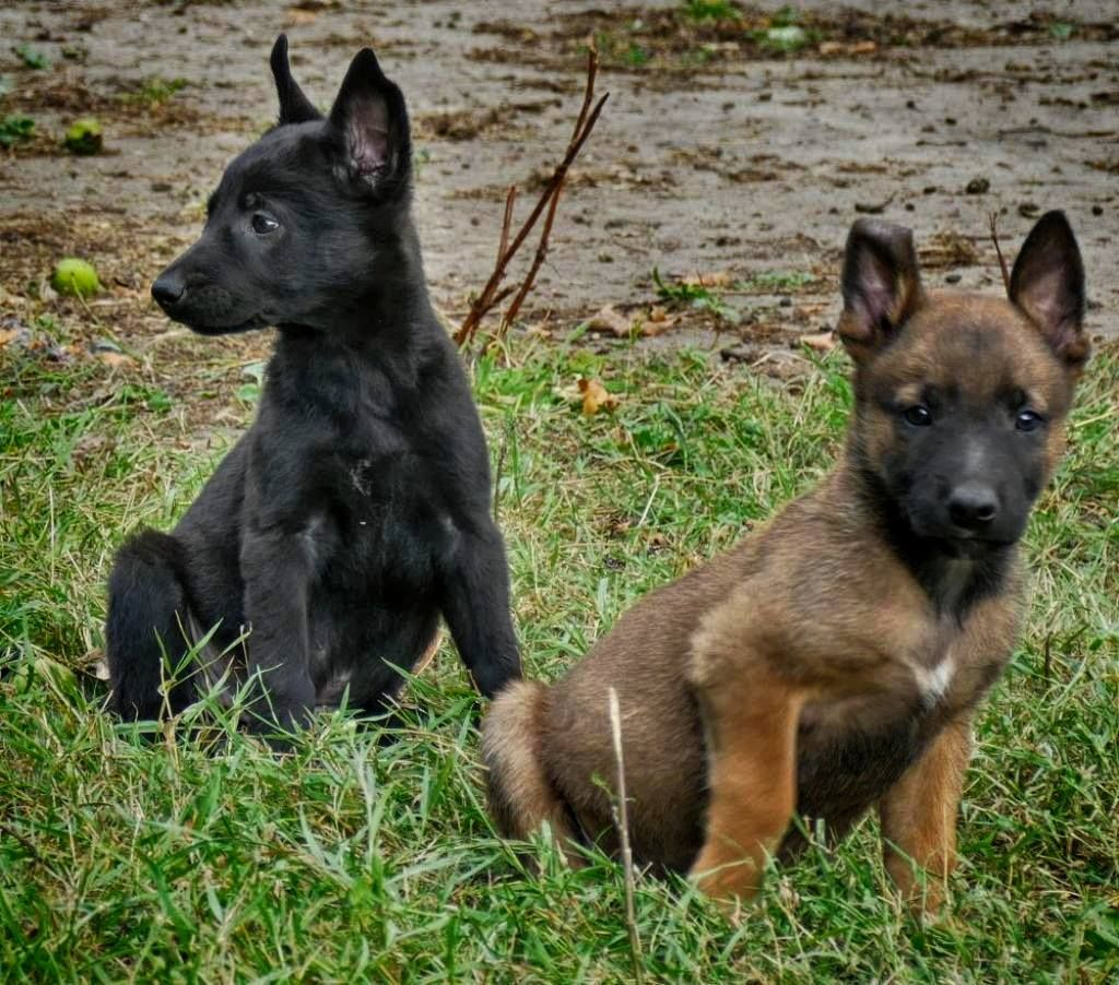 Belgian Malinois Puppies Black And Sable Puppies Www Wolfsbanek9 Com Belgian Malinois Puppies Malinois Puppies Belgian Malinois Dog