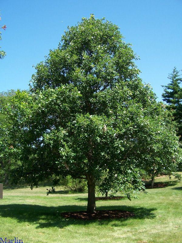 Swamp White Oak | Favorite Trees | Pinterest | White oak, Shrub and ...