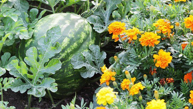 Companion Planting   Melon And Marigold   For My Organic