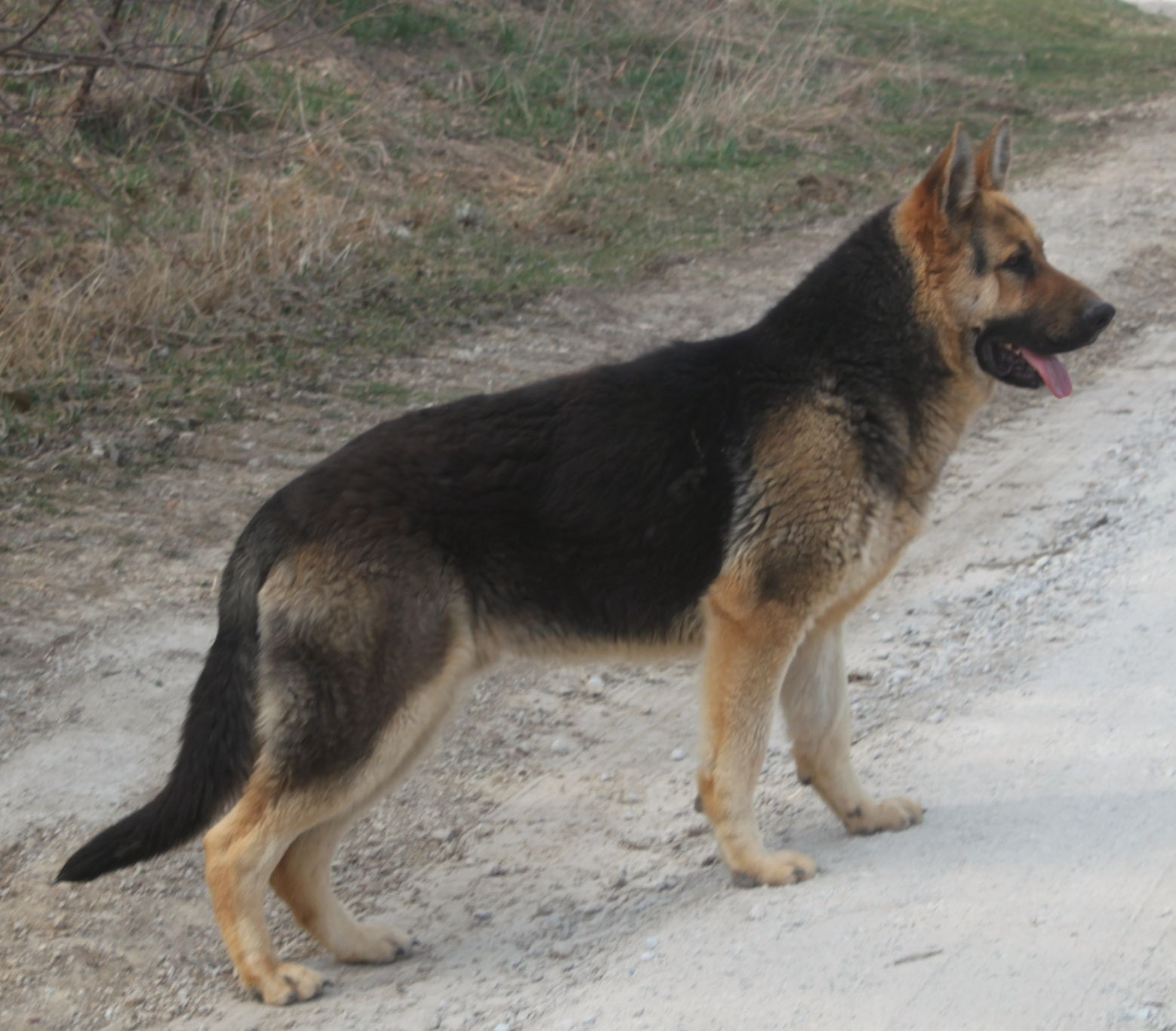 Pin On German Shepherds