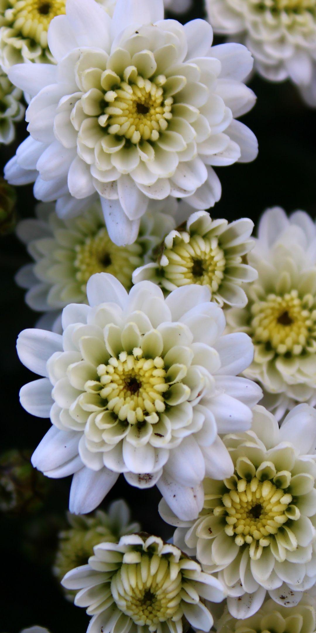 White Chrysanthemum flowers x wallpaper Wallpapers