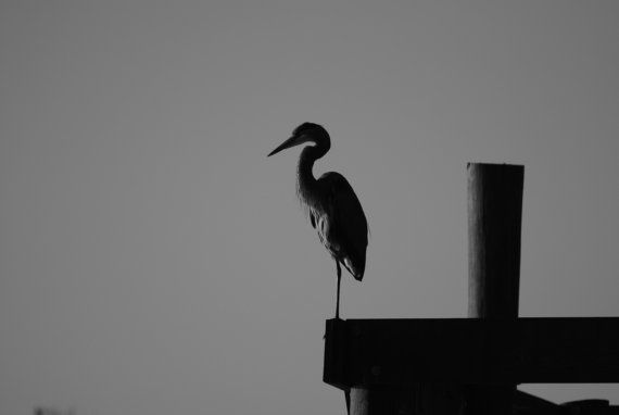 Free Shipping on this canvas wrapped black and white fine art photo of a blue heron