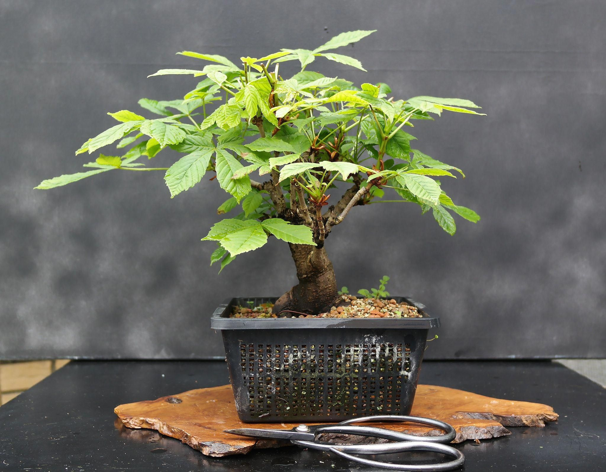 What Is The Best Indoor Bonsai Tree For Beginners Bonsai Tree Care Indoor Bonsai Bonsai For Sale
