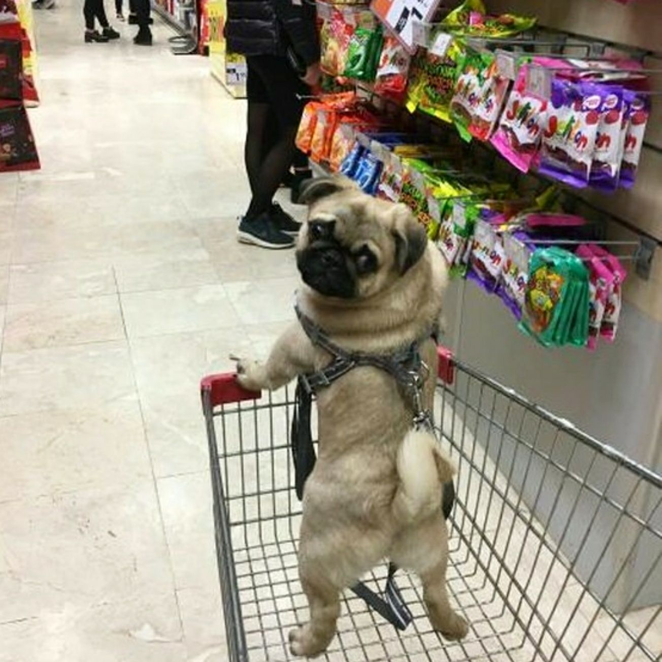 To The Treat Aisle Caes Divertidos Caes Pug Raca Pug