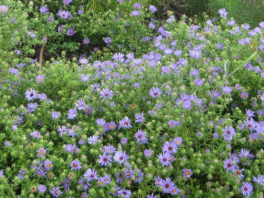 Aster Oblongifolius October Skies October Sky Plant Information Native Plants