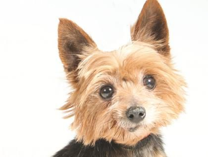 Petango Com Meet Davidson A 8 Years Terrier Yorkshire Available For Adoption In Colorado Springs Co Adoptable Small Breeds Dogs Adoption Yorkshire