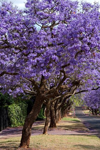 Florida Flowering Trees Identification | Purple Flower ...