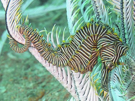 Monte Bello Seahorse, Hippocampus montebelloensis