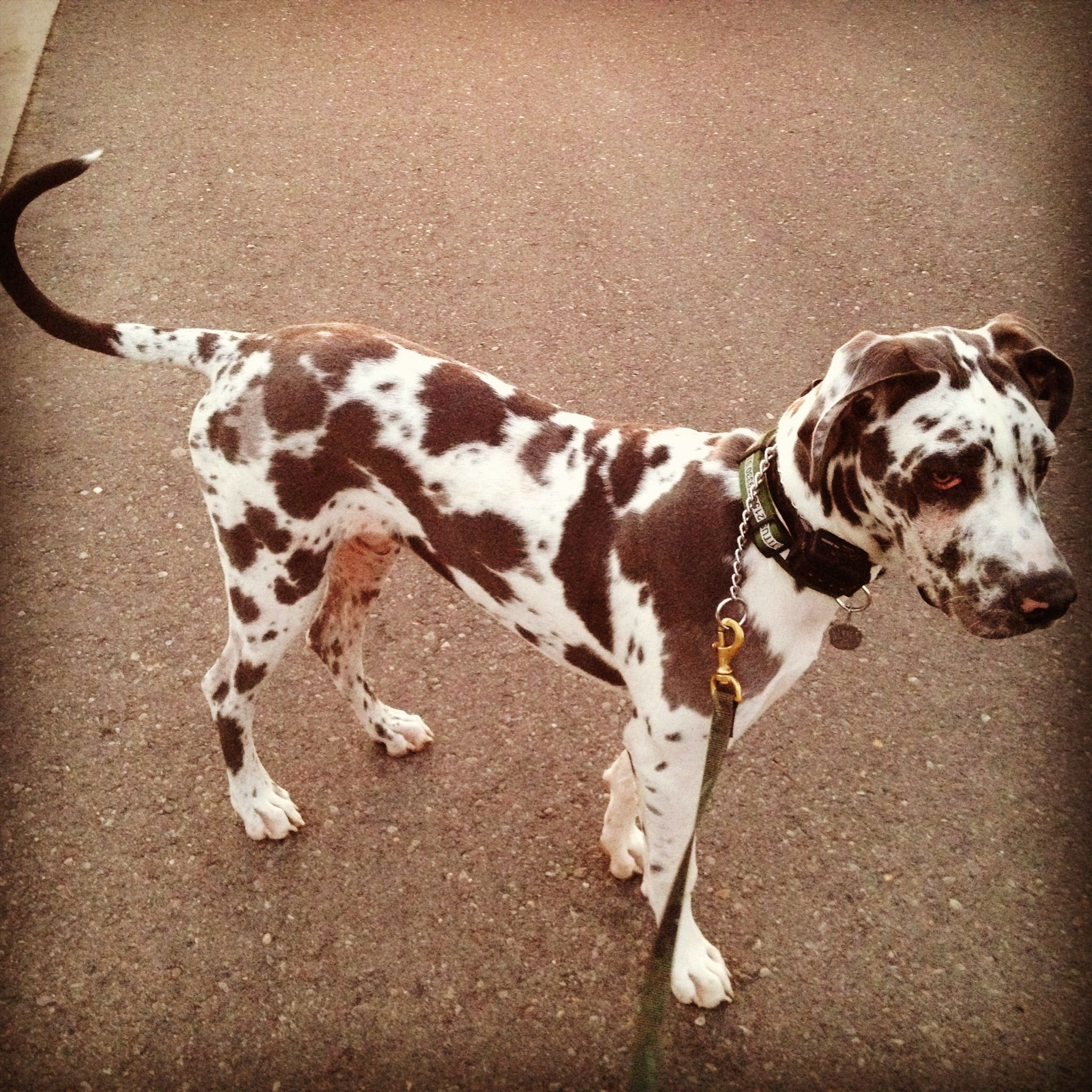 Blue Harlequin Great Dane I M Melting Over How Perfect This One