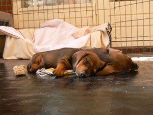 Google Afbeeldingen resultaat voor http://www.salahomborgh.nl/Korthaar_pup/n-nest/slapende-pups-rood-rood.jpg