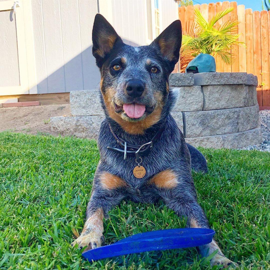 Blue Heeler Puppies For Sale In Alabama Cute Puppies Blue Heeler Puppies Heeler Puppies Cattle Dog