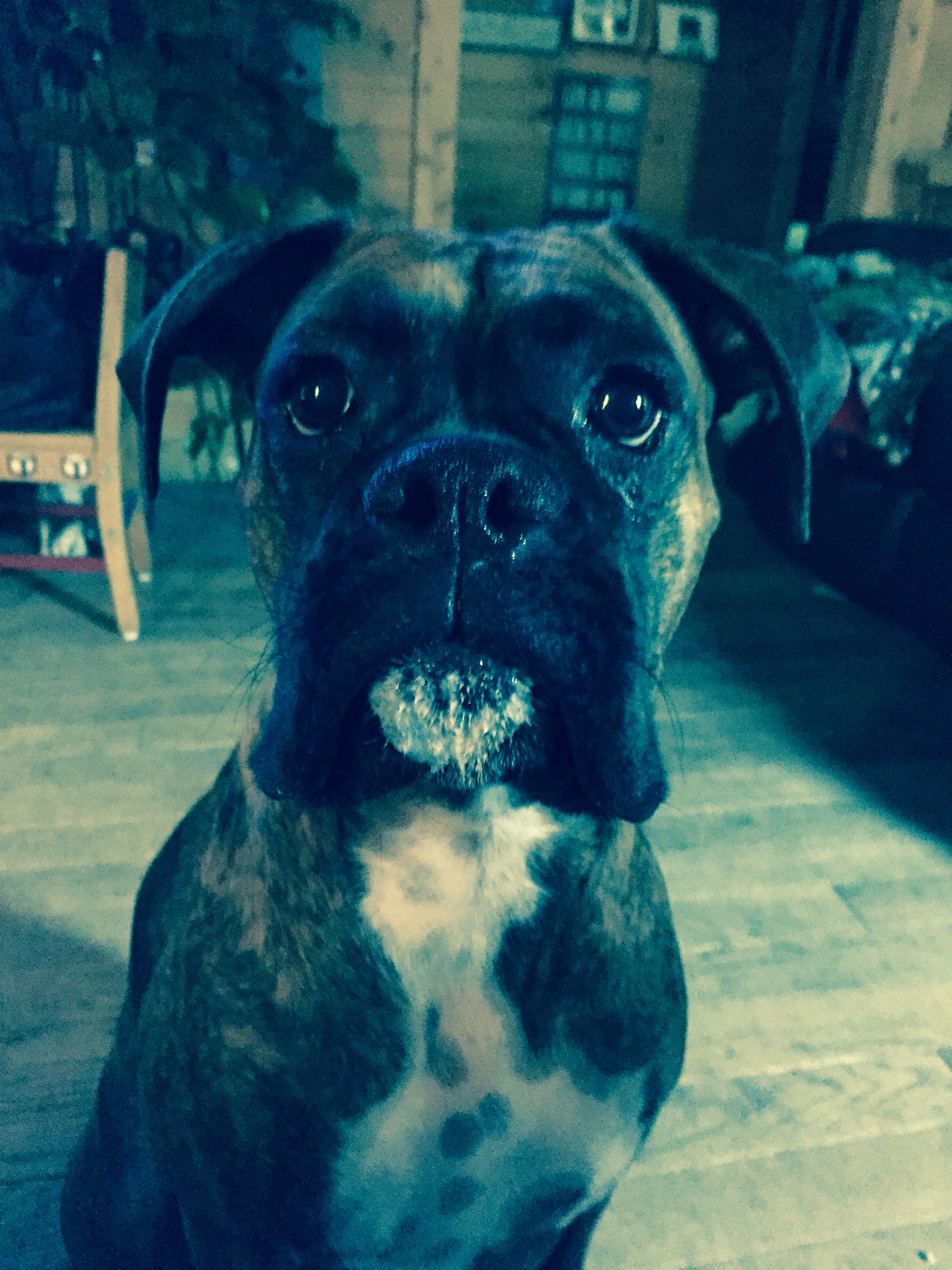 Annabelle Has An Ice Cream Goatee Terrier Pets Boston Terrier