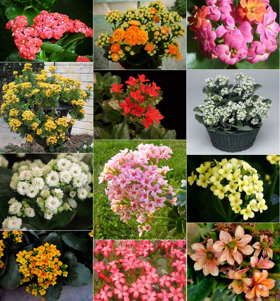Kalanchoe Plants Make Great Color For Indoors They Can Then Be