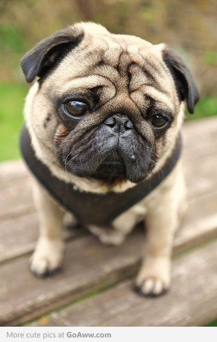 Isn T That Just The Best Face In The Whole Wide World Pugs