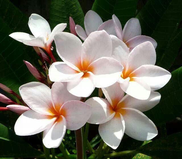 Flor De Sacuanjoche Flor Nacional De Nicaragua Nicaragua Azucena Flores Flores