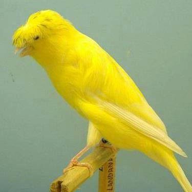 Royal Yellow Canary Passaros Exoticos Canarios Belgas Canarios