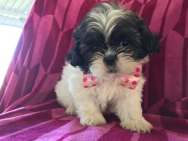 Shih Tzu Puppy For Sale In Peach Bottom Pa Adn 49116 On
