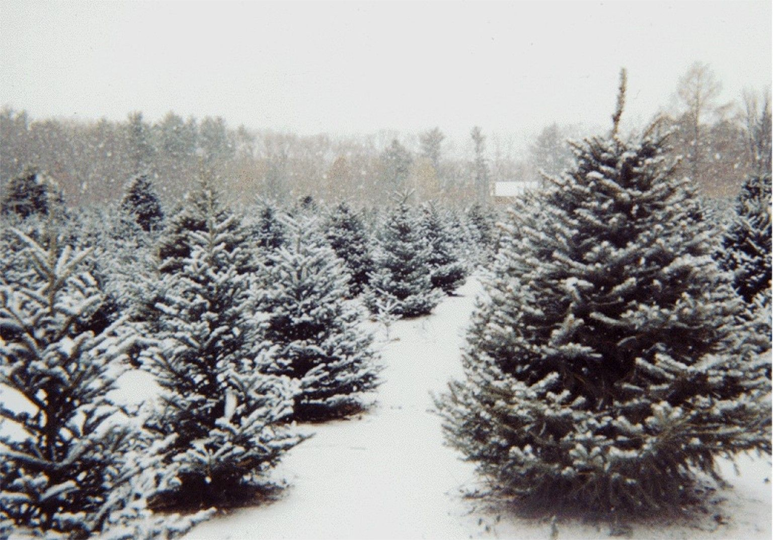 I Love Real Christmas Trees They Look Amazing Even If They Are Not Decorated Christmas Tree Farm Tree Farms Real Christmas Tree