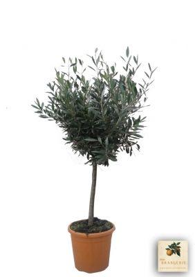 baum des friedens der olivenbaum mediterrane pflanzen pinterest olivenbaum baum und. Black Bedroom Furniture Sets. Home Design Ideas
