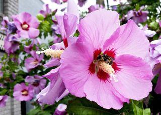 Hibiscus syriacus fleurs roses hibiscus pinterest for Entretien hibiscus exterieur