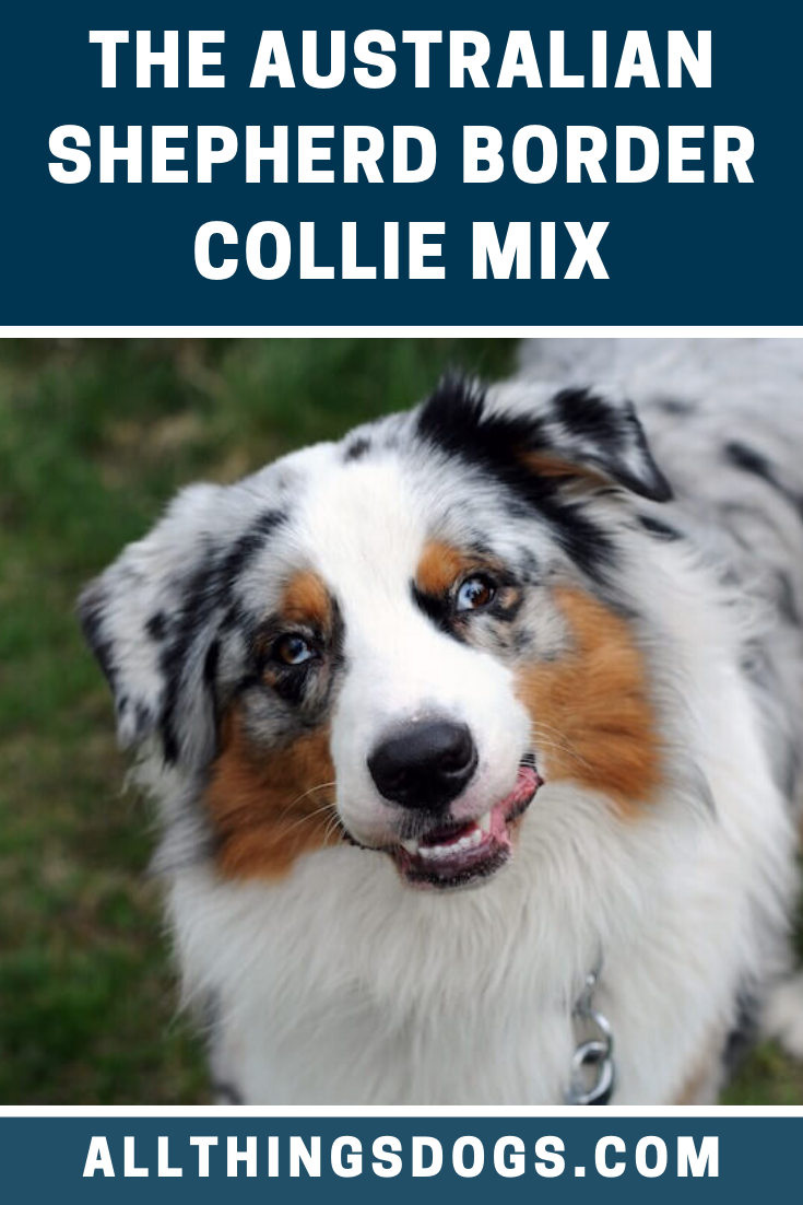 The Australian Shepherd Border Collie Mix Sometimes Called The Border Aussie Is A Crossbreed That Is Slowly Growin In 2020 Australian Shepherd Collie Mix Aussie Dogs