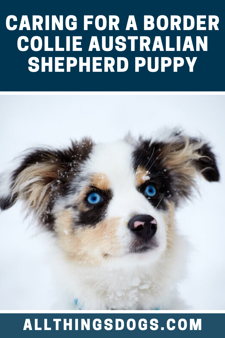 In The Case Of A Border Collie Australian Shepherd Puppy Both Parents Temperaments Are Very Australian Shepherd Mix Puppies Australian Shepherd Border Collie