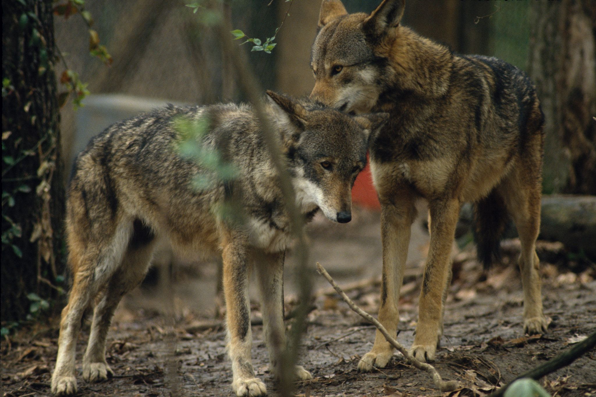 DNA Study Reveals the One and Only Wolf Species in North