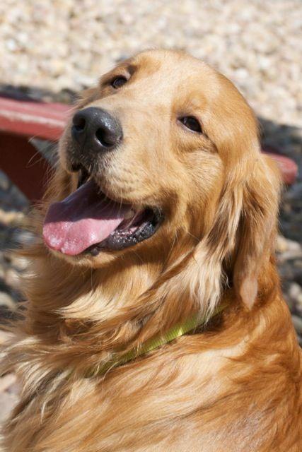 Happy Dog Rolls In Grass Golden Retriever Rescue Happy Dogs Dogs