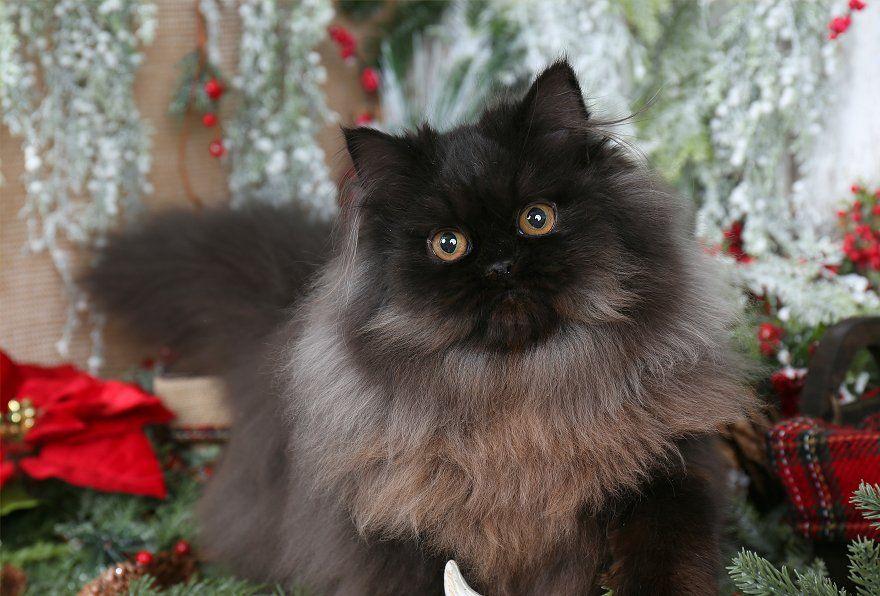 Black Persian Kittens Persian Kittens Persian Cat Doll Face Kittens