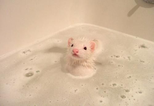How A Mouse Takes A Bath Cute Ferrets Cute Animals