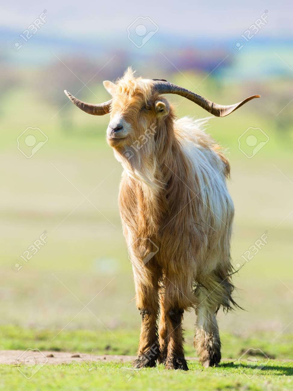Goat Horns Google Search Goat Horns Goats Animals