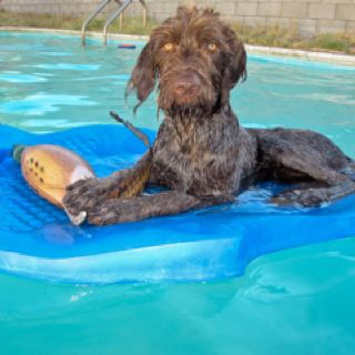 Winchester Loves To Float In The Pool Pudelpointer German