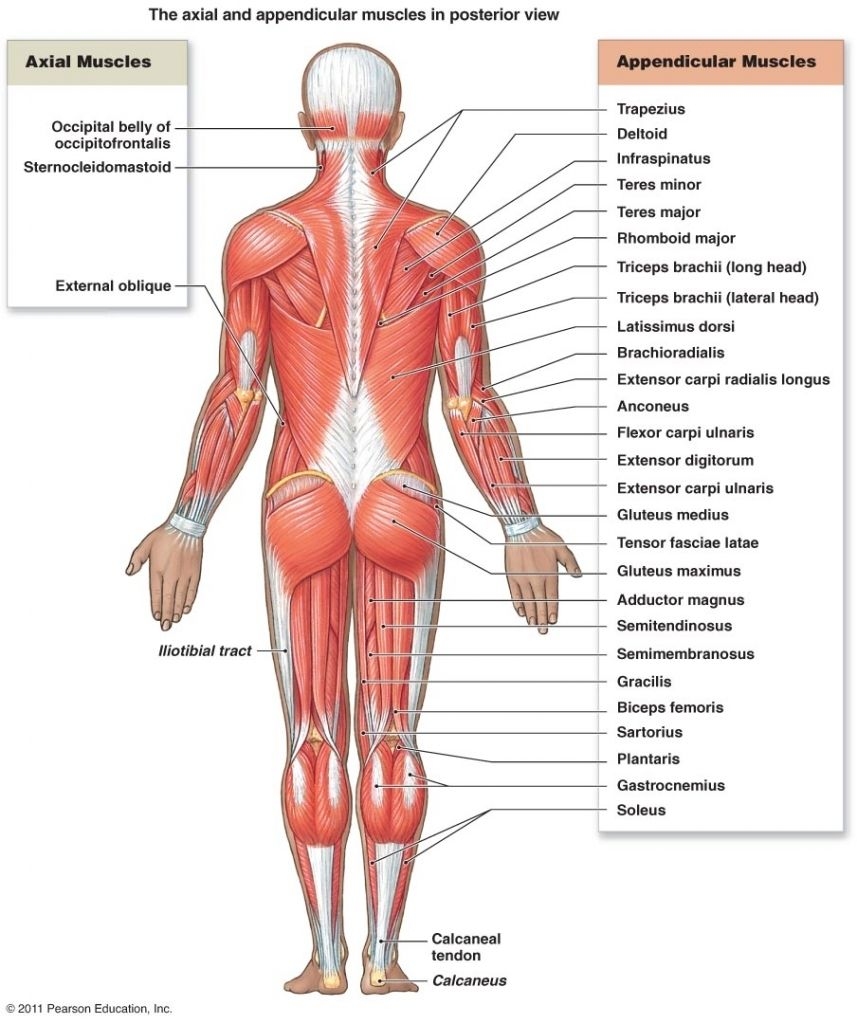 Muscles Of The Muscular System Trunk Muscles Anatomy The Muscular ...