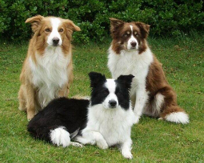 So Pretty Collie Puppies Dog Breeds Brown Border Collie