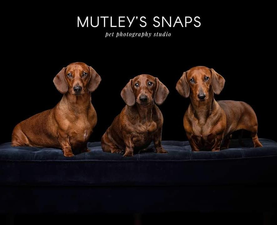 A Trio Of Lovely Standard Dachshunds Dachshund Doxie