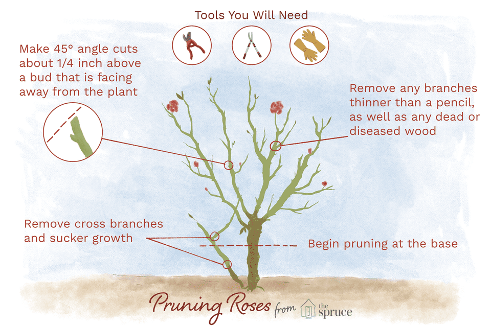 Image Result For How To Prune Knockout Rose Knockoutrosen Image Result For How To Prune Knockout Rose Knocko When To Prune Roses Pruning Roses Knockout Roses