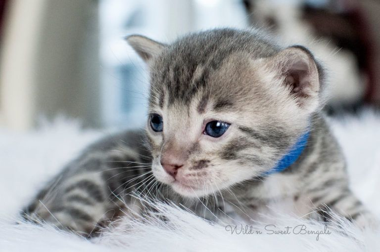 Blue Bengal Cats Kittens For Sale Egyptische Mau Poesje